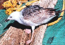 Seagull dining on remains of eels left in netting - part of fisheries bycatch Photo