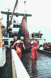 Preparing to open the bag at the end of the trawl to recover captured fish on MILLER FREEMAN. Photo