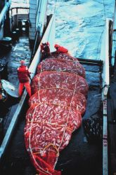 A 16,000 pound catch of pollock coming aboard the MILLER FREEMAN. Image