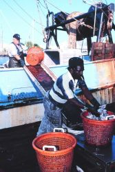 Offloading squid from the F/V ATLANTIC TRAVELLER at Co-op Seafood Market dock. Photo