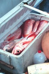 A catch of snapper from the small boat fishing fleet Image
