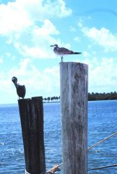 Birds of a feather don't always flock together - pelican and sea gull share adjacent pilings Photo
