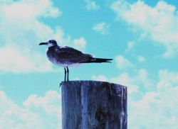 A seagull on a piling perch. Image
