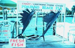 Sailfish caught off Pompano Beach Photo