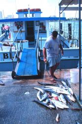 King and Spanish mackerel being unloaded from a charter boat Photo