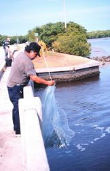 Photo -3a - A fisherman retrieving his net after casting for mullet and other fish off a bridge south of Everglades City. Photo