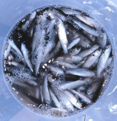 A bucket full of bait mullet caught by net casting Image