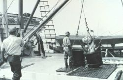 A 500-lb bucket of yellow-fin tuna ready to be offloaded from fishing vessel to a receiving trough for further processing Image
