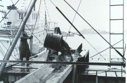 A 500-lb bucket of yellow-fin tuna being offloaded from fishing vessel to a receiving trough for further processing Image