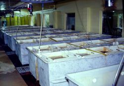 A South Carolina clam aquaculture operation raises both the spat (open tanks) and the green algae they eat (background cylinders) Photo