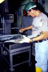 Randomly selected albacore from a just unloaded batch are examined by a staff biologist at a Puerto Rico tuna cannery. Photo