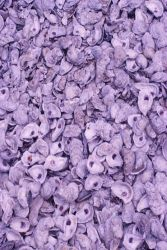Piles of shells are destined as habitat in the next generation of larval oysters in St Photo