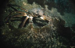 The domestic crab (Hyas araneus) is well-camouflaged under a seaweed (Laminaria Sakharina) leave in Dalnezeletsky Bay, Lat Photo