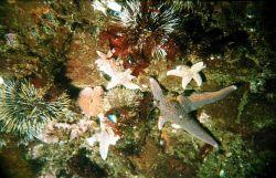 Sea-star (Asterias rubens) and sea-urchin (Strongylocentrotus droebachiensis) Dalnezelenetsky Bay, Lat Photo
