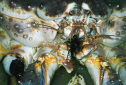 Red king crab (Paralithodes camtschaticus) Photo