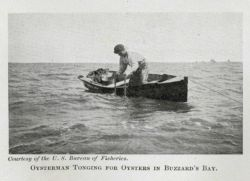 Oysterman tonging for oysters in Buzzards Bay Photo