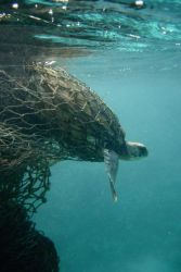 A sea turtle entangled in a ghost net. Photo