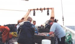 Sorting squid at the sorting table on the stern of the ALBATROSS IV Photo