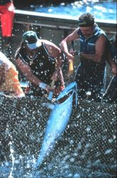 The small tuna are landed by two fishermen. Photo