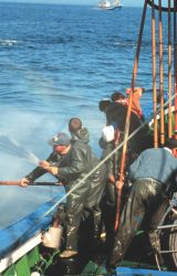 Fishing for tuna using pole and line while using live bait. Photo