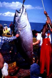 Large bluefin tuna caught in the trap off Stintino. Photo