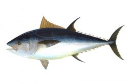 Bluefin tuna - Thunnus thynnus. Photo