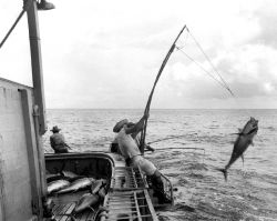 Pole and line fishing with two poles working in unison Photo