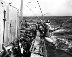 Fishermen catching yellowfin tuna by pole and line fishing Photo