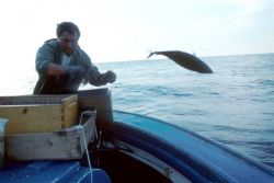 After tagging, the bluefin tuna are returned to the sea. Photo