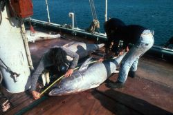 Scientists measuring a bluefin tuna - Thunnus thynnus. Photo