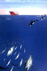 Besides man, killer whales are major predators pursuing tuna. Photo