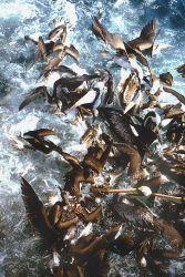 Pelicans (Pelacanus thagus) and gannets (Sula variegata) on a fishing boat net. Photo