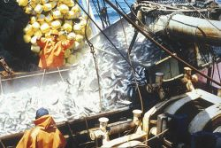 Chub mackerel (Scomber japonicus) being loaded on a boat. Photo
