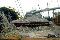 Hold of a fishing boat full of anchoveta (Engraulis ringens). Photo