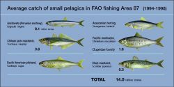 On average, FAO statistical area 87 provides around 45 per cent of the World's catch of small pelagic species. Photo