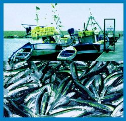 Coastal Pelagic Fisheries: Small coastal pelagic species are exploited by coast al purse seiners Photo