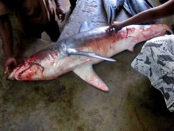 Shark being prepared for Sao Tomean market Photo