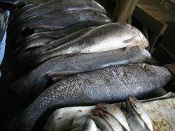 Various fish species can be found at the Central Fish Market at Dakar. Photo