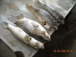 Various fish species can be found at the Central Fish Market at Dakar. Photo