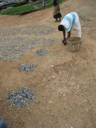 Gathering dried fish for market Photo