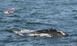Right whale towing marine debris Photo