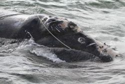 North Atlantic right whale that a team of state and federal biologists assisted in disentangling off Daytona Beach. Photo