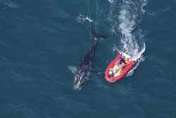 Scientists from NOAA Fisheries Service approaching a young North Atlantic right whale they disentangled on January 15 off Cape Canaveral. Photo