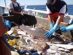 Atlantic sturgeon. Photo
