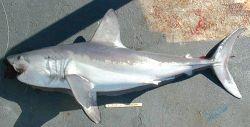 Porbeagle shark Photo