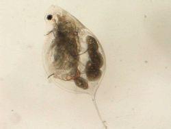 Zooplankton - Daphnia mendotae with eggs Photo