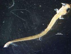 Sucker fish larval stage Photo