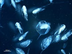 An assortment of zooplankton Photo