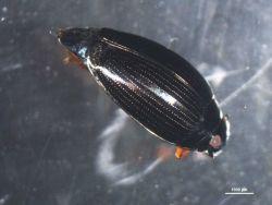Water beetle Photo