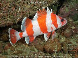 Flag rockfish Photo
